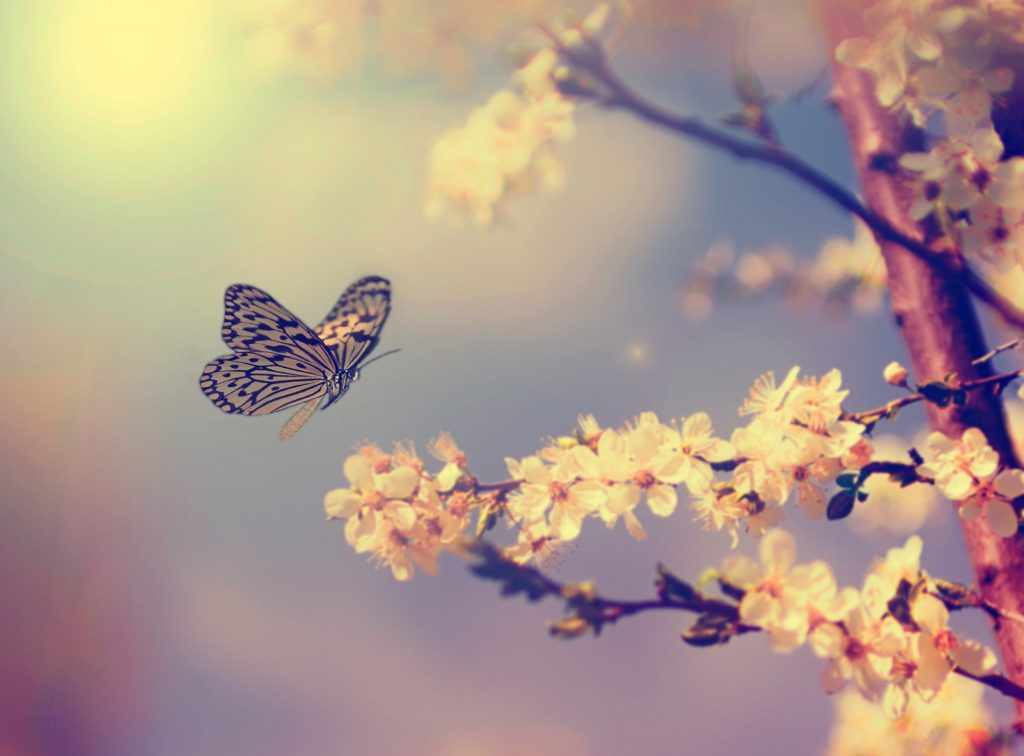 plural of butterfly